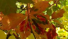 Multi-Colored & Delectable Autumn - IMGP6788 (catchesthelight) Tags: leafpeeping fallfoliage fall foliage nh newhampshirefallfoliage colors colorful autumn multicolored