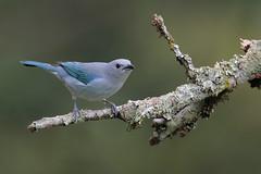 Blue-gray Tanager (Greg Lavaty Photography) Tags: bluegraytanager thraupisepiscopus costarica october bird nature wildlife