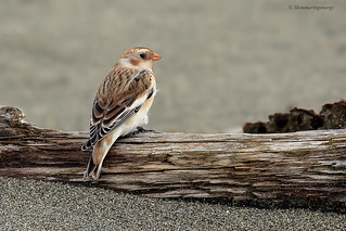 Snow Bunting | Bruant des neiges