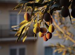 Olives (Gerard-hd) Tags: olives olivas manresa catalonia panasonic gx8 olympus 25mm