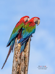 #tbt: Red and Green Macaws (DSH jicho (Trinidad and Tobago)) Tags: animals adult adventure action bird birds birding bokeh blue brown billed caribbean clouds davidsteffanhuggins dshjicho explore eyes eye feathers feather facebook field feathered green island instagram morning macaw ngc nature nikon photography perch red sky sigma trinidad trinidadandtobago trinbago trini tree tail wildlife wings winged