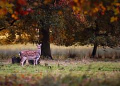 'Red October' (Jonathan Casey) Tags: fallow deer doe gunton park norfolk d810 200mm f2 vr