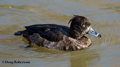 Tufted Duck (F) (DougRobertson) Tags: radipole weymouth tufted duck wildlife bird rspb nature animal