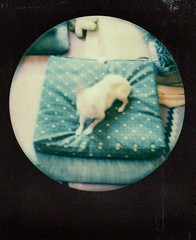 floyd on cushion (EllenJo) Tags: roundframe sx70 polaroid impossibleproject theimpossibleproject ellenjo 2016 december2016
