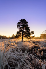 Sunrise in the tree (Jantje1972) Tags: nationalpark frost cold fog sunrise tree mist forest posbank hogeveluwe koud licht lucht sky colors ngc