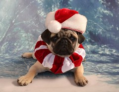 Santa's Little Helper Boo Lefou (DaPuglet) Tags: pug puppy dog christmas holiday card costume santa cute dapuglet pets pugs dogs animal animals pet santaclaus hat coth coth5 sunrays5