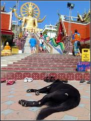 Big Buddha (LILI 296....!!!) Tags: chien statue temple noir thalande perro kohsamui escalier marche dpg couch chaussure bigbouddha canonpowershotg16
