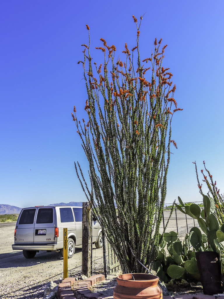 """The World's Best Photos of cactus and """"ocotillo - Flickr"""