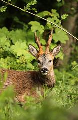 Portrait d'un roi (Eric Penet) Tags: portrait france animal iledefrance bois chevreuil mammifre sauvage brocard cervid mle rentilly