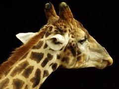 Retrato de uma Girafa (Ricardo Venerando) Tags: life nature animal wildlife natureza explore discovery soe naturesfinest conservacion nationalgeografic platinumphoto diamondclassphotographer ysplix goldstaraward ricardovenerando