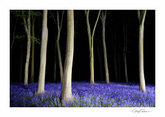 Bluebells by Night (George-Edwards) Tags: wood uk longexposure blue trees light england lightpainting nature bluebells night forest woodland dark landscape carpet countryside spring dusk hampshire torch beech 2014 micheldever georgeedwards