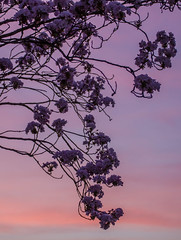 Cherry Blossom Sunset (Joko-Facile) Tags: sunset tree germany de cherry deutschland spring sonnenuntergang blossom lbeck blte baum schleswigholstein frhling kirsche