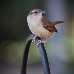 Wren (II) (gtncats) Tags: bird nature wildlife wren canon70d photographyforrecreation infinitexposure