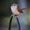 Wren (II) (gtncats) Tags: bird nature wildlife wren canon70d photographyforrecreation infinitexposure