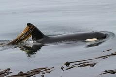 Marina L47 kelping (SanJuanOrcas) Tags: ocean sea wild nature island washington san juan state wildlife killer whale orca cetacean limekilnls