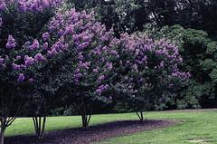 Crape myrtle (agasfer) Tags: flowers trees pentax southcarolina topaz 2014 denoise k01 adjust5 smcpentaxdaf2435mmal