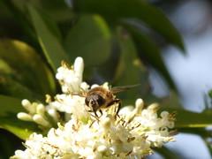 July 01 2014 (Bob Pitman) Tags: flower wings bee honey 365 honeybee collectingpollen