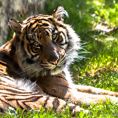 Meow (PJ Resnick) Tags: light orange color green texture nature colors leaves yellow backlight contrast digital cat canon catchycolors square zoo washington stripes tiger 100mm whiskers squareformat fir pacificnorthwest meow tacoma usm sumatrantiger pnw ef animalia tacomawa resnick pointdefiance 100mmmacro 500x500 bsquare impressedbeauty 5dmarkii canon5dmarkii eos5dmarkll highspeediso ef100mmf28lusmmacro pjresnick pjresnick pjresnickgmailcom perryjresnick pjresnick
