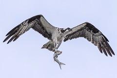 Osprey with fish! (NatureGeek_inBR) Tags: bird alabama animalplanet osprey orangebeachalabama canon60d canonef100400mmf4556lis