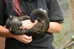 Palawan-Binturong Pop im Rare Species Conservation Centre in Sandwich. (Ulli J.) Tags: uk greatbritain england zoo kent unitedkingdom sandwich engeland bearcat binturong southeastengland royaumeuni beermarter rscc storbritannien vereinigtesknigreich marderbr grootbrittanni verenigdkoninkrijk rarespeciesconservationcentre grosbritannien palawanbinturong bjrnekat