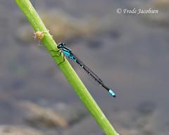Skimming Bluet (Enallagma geminatum) (Frode Jacobsen) Tags: westvirginia damselfly enallagmageminatum skimmingbluet frodejacobsen canoneos7d