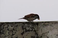 Mouthful (kamirao) Tags: food bird sparrow
