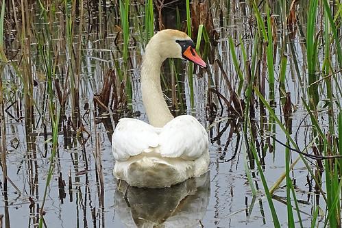 Mute Swan (Cygnus olor) Höckerschwan
