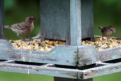 Female House Finch, Chipping Sparrow_9883 (Bobolink) Tags: ontario stirling chippingsparrow femalehousefinch