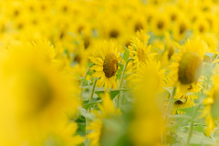 12/08/2014_day113 : summer holiday in Unane (Chicaco11) Tags: summer flower yellow japan 50mm tokyo f14 panasonic sunflower nikkor   chicaco11 dmcgx7 in