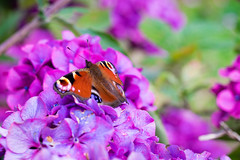 Butterfly-2 (Mal Urwin) Tags: leica flowers nature butterfly 50mm flora bokeh bee summicronr
