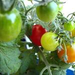 first-tomatos-01 thumbnail