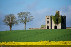 Rathcoffey Castle (bbusschots) Tags: summer flower castle yellow ruin localhistory historicbuilding rathcoffeycastle rapebrassicanapus