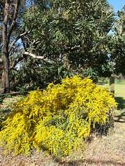 golden #fencepostfriday (ClareSnow) Tags: winter flower yellow fence woodland bush australia naturereserve perth acacia wattle fencepost bushland banksiagrandis pricklymoses banksiawoodland bushreserve acaciapulchella fencepostfriday richardguelfireserve