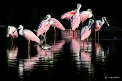 Perfect Light II (craig goettsch) Tags: bird nature nikon g wildlife m avian roseatespoonbill d610 dingdarlingnwr elitephotography