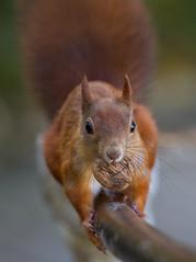 Orav (m.ellermaa) Tags: squirrel sügis orav pähkel