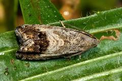 Chestnut moth (Cydia splendana) (Ian Redding) Tags: uk fauna insect moth british invertebrate