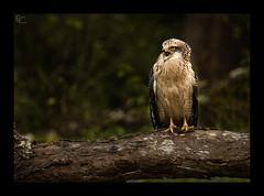 Crested Serpant Eagle - Juvenile (Giridhar-Photography) Tags: wild india nature call natural eagle wildlife hills karnataka calling juvenile mysore crested cse brt shouting serpant kgudi gudi birdcall biligiri chamarajanagar rangana kyathadevara