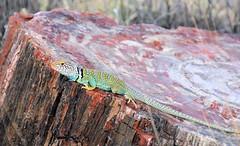 collared lizard on petrified wood (J Blough) Tags: park arizona forest nationalpark nps national petrifiedforestnationalpark petrified petrifiedwood collaredlizard