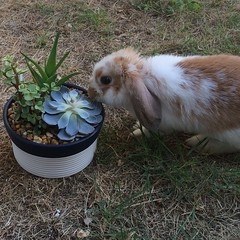 Watson and succulents (Achatinidae) Tags: brown sun white plant cute rabbit bunny green love grass outside succulent nice pretty succulents lightbrown lopearedrabbit