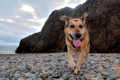 Grace in Howth (sssssoc) Tags: ireland sea howth dublin dog beach tongue rocks shingle canine pebbles mansbestfriend paws tokina1224mm germanshepherdcross nikond3000