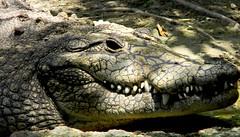 Close Cocodrile (copito_m) Tags: naturaleza nature animal nikon animales mywinners abigfave aplusphoto