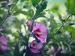 garden 2014 (66) (Ange 29) Tags: flowers canada garden king purple olympus mauve township omd em1 zd 35100mm