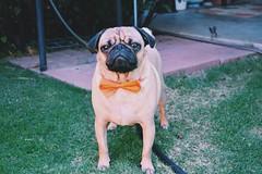 image (KelliLorraine) Tags: dog pets green dogs nature animals garden nikon funny pug elpaso pugs mops vsco