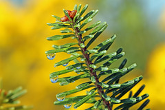 Raindrop Reflections on Pine Needles (Dave Trono) Tags: flowers summer macro nature rain pine canon reflections drops bokeh goldenrod newengland newhampshire nh pineneedles raindrops 2014 pineboughs canonef100mmf28lmacrois canoneos70d