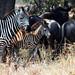 Serengeti_2538