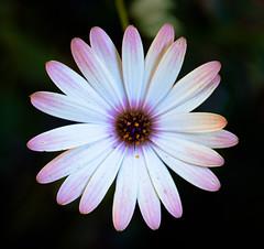 beauty (slackdunk) Tags: flower macro pattern flor gerbera