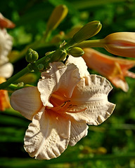 0008234 (To all that visit, Thank you) Tags: flowers flower garden afternoon lily peach lilies bloom mygarden ©allrightsreserved my