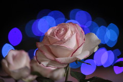 HFF (Sandeep Santra) Tags: flowers blue flower nature rose closeup canon bokeh flowershow flowerart natureart bluebokeh canonefs55250mmf456is princessmonaco sandeepsantraphotography