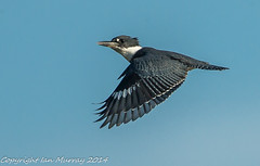 IMG_4759 Morning Light Kingfisher (Wallace River) Tags: ex flight kingfisher bito aboiteau