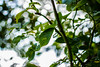 Green leaves, White bokeh (Frank Reitz) Tags: white green leaves 35mm prime nikon f18 18 bokehballs bokehcircles bokehshapes bokehdots d5200 nikkor35mmf18g